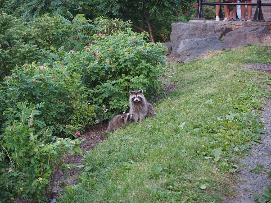 Mont-Royal-Racoon_19