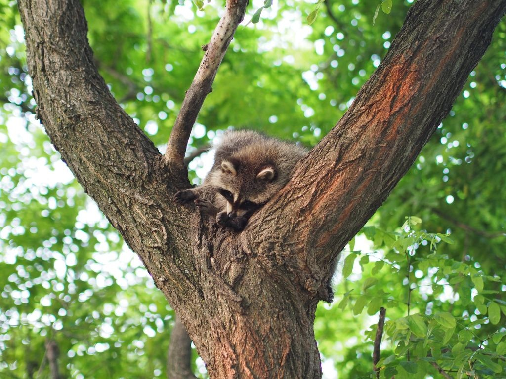Mont-Royal-Racoon_28