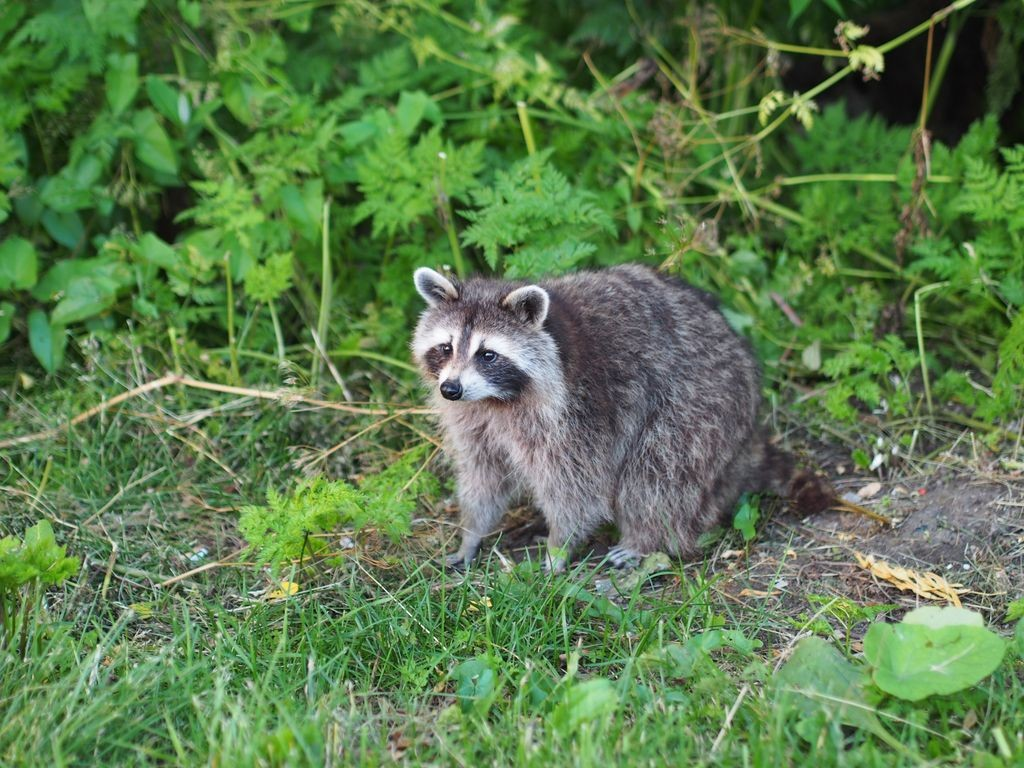 Mont-Royal-Racoon_31